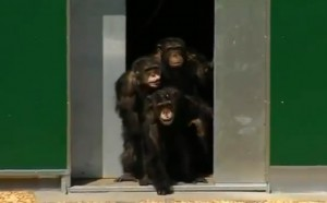 chimps go free