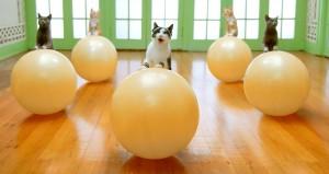 תכנית אימונים לחתולים