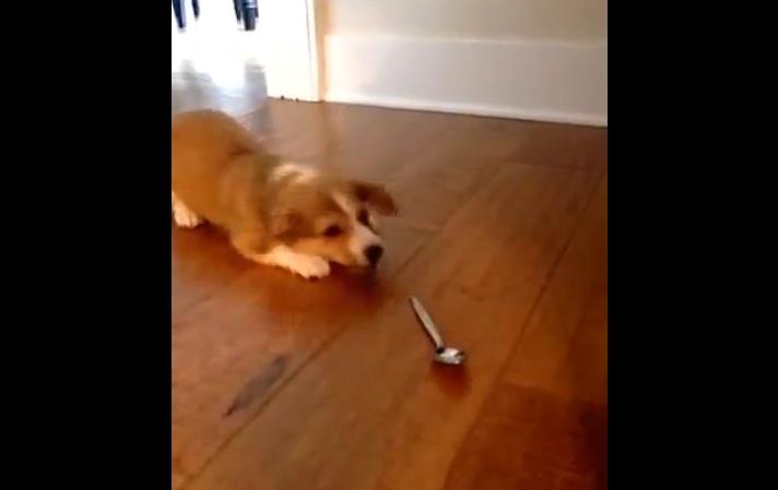 כלב נגד כפית
