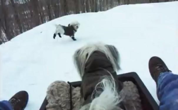 כלבים בשלג