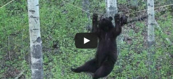 דוב על חבל