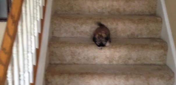 כלבים נגד מדרגות