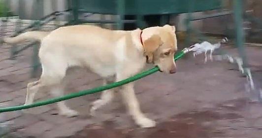 כלבה חכמה