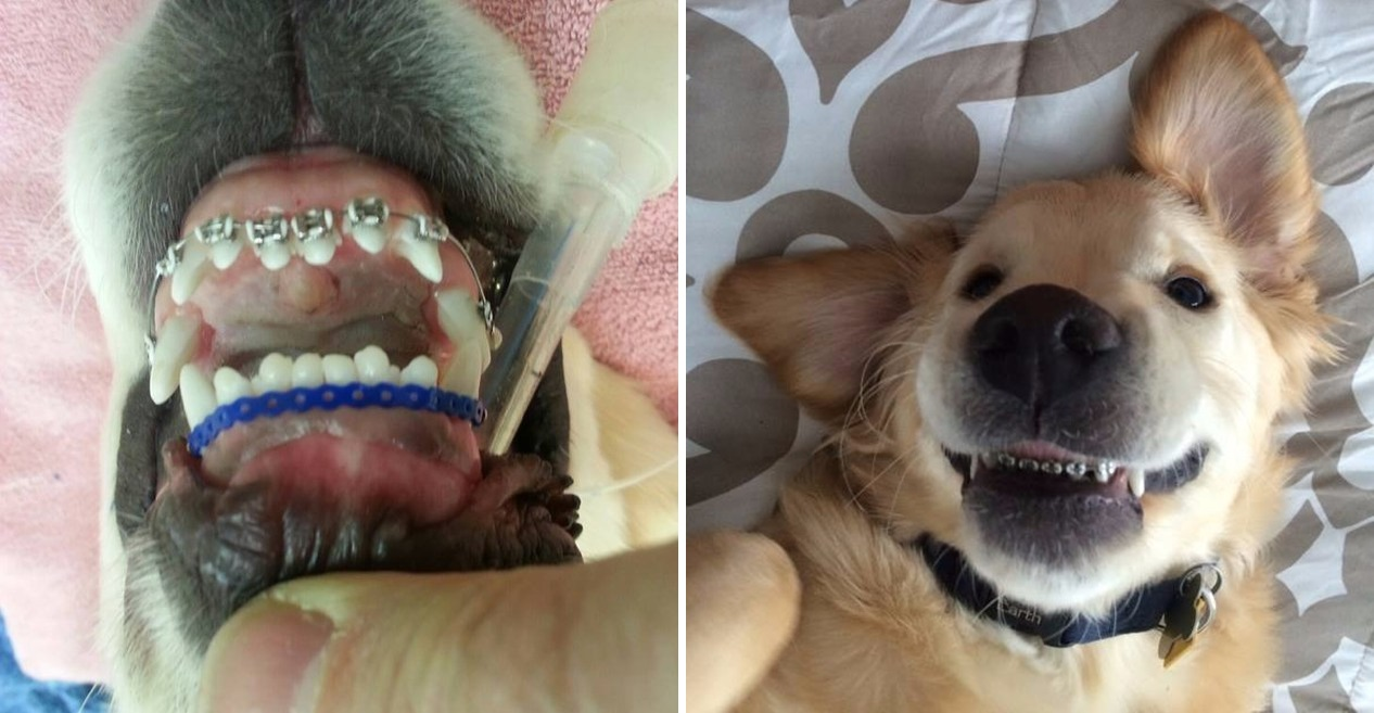 כלב עם גשר בשיניים ראשי
