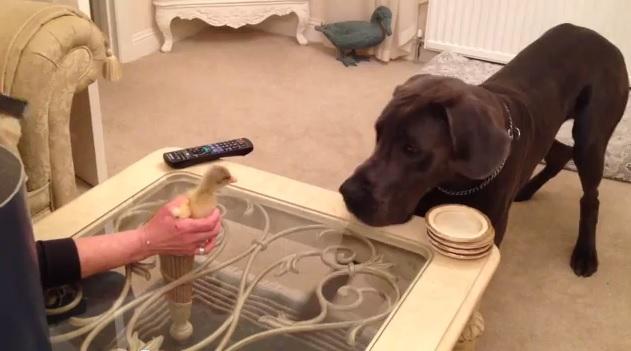 דני ענק ואווז