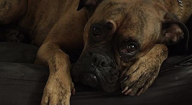 כלב עצוב