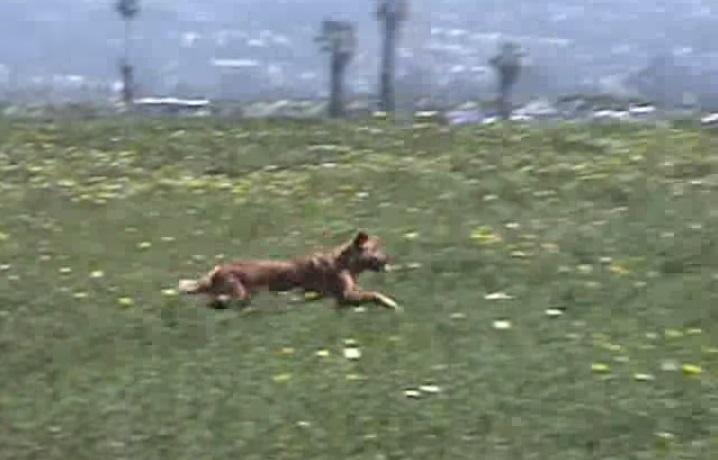 כלבה גולשת 18