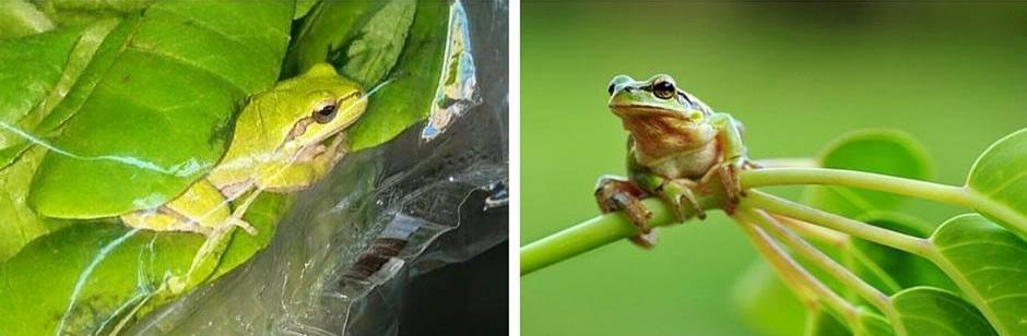 צפרדע בחסה כרמל יבולים 3