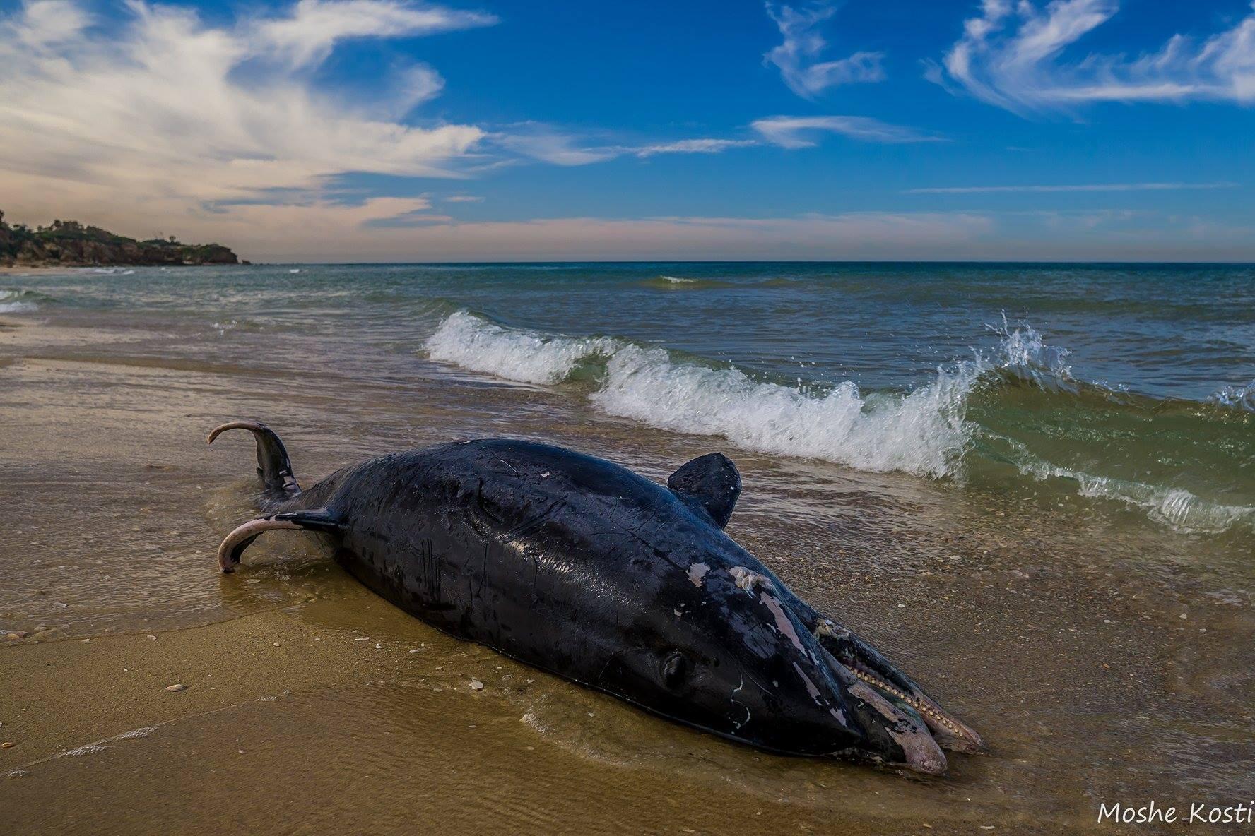 דולפין מת בפלמחים 7